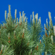 Pine branches — Stock Photo #3503724