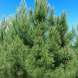 Pine branches — Stock Photo #3503835