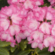 Pink rhododendron blossoms — Stock Photo