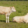 Two cows in pasture in summer - Stock Photo