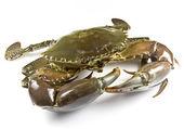 Mud Crab — Stock Photo