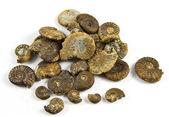 Ammonites Fossils — Stock Photo