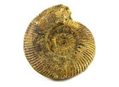 Fossiles d'ammonites — Photo