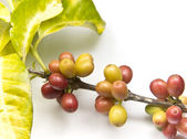 Ripen coffee beans — Stock Photo