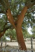 Chêne liège — Photo