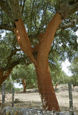 Cork oak — Photo