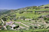 Vignobles de la vallée du douro — Photo