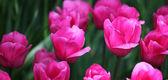 Tulips — ストック写真