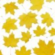 Autumn maple leaves isolated on white — Stock Photo