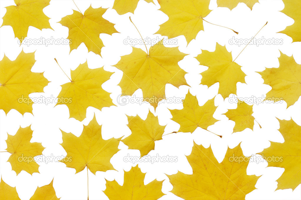 Autumn maple leaves  isolated on white  — 图库照片 #2817780
