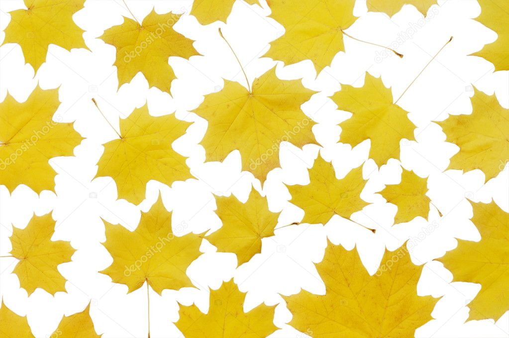 Autumn maple leaves  isolated on white  — Photo #2817780