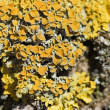 Yellow lichen on a tree bark - Stock Photo