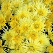 Close up of yellow chrysanthemums — Stock Photo