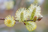 Branch of a willow against the brown — Stock Photo