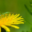 Bright blossoming dandelion — Stock Photo #3193616