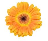 Beyaz izole gerbera çiçek — Stok fotoğraf