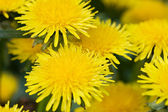 Yellow dandelion in the grass green meadow — Stock Photo