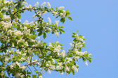 Blossoming bird cherry in the spring — Stock Photo
