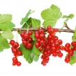 Branch of a red currant isolated on white background — Stock Photo #3495837