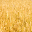Field with ripe yellow wheat — Stock Photo