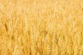 Field with ripe yellow wheat — Stock Photo