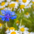 Field with cornflowers and camomiles — Stock Photo #3865409