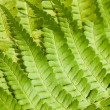Fresh young bright green fern background texture - Photo