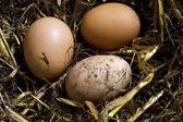 New laid eggs — Stock Photo