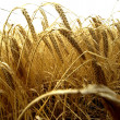 Barley — Stock Photo #3442240