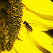 Stock Photo: Wasp on sunflower