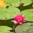 Beautiful pink Water Lilly — Stock Photo