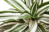 Striped leaves — Stock Photo
