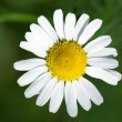 Camomile — Stock Photo #3605203