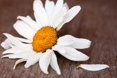 Chamomile — Photo