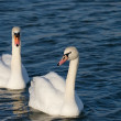 Two lovers swan - Stock Photo