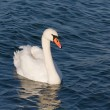 White beautiful swan — Stock Photo