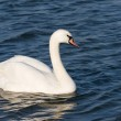 White beautiful swan - Stock Photo
