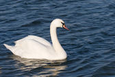 White beautiful swan — Stock fotografie
