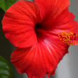 Red hibiscus flower — Stock Photo