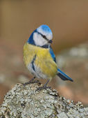 Blue Tit, Cyanistes caeruleus — Stock Photo