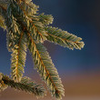 Spruce branch — Stock Photo #3394037