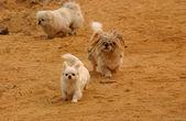 Dogs running — Stock Photo