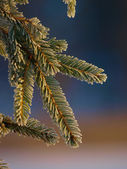 Spruce branch — Stock Photo