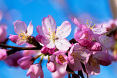 Almond in bloom close-up — Stock Photo