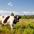 Stock Photo: Cow in field
