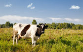 Cow in field — Stock Photo