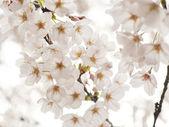 Japanese cherry blossoms (sakura) — Stock Photo
