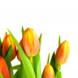 Spring tulip — Stock Photo