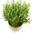 Rosemary plant and pot - Stock Photo