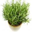 Rosemary plant and pot — Stock Photo #2835014